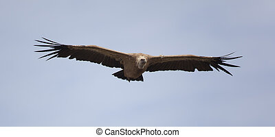 Vulture, Hoces del Duraton, Segovia, Spain