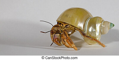house on his back - hermit crab that is walking with a shell