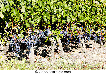 vineyard with blue grapes in Bordeaux Region, Aquitaine,...