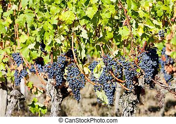 blue grape in Bordeaux Region, Aquitaine, France