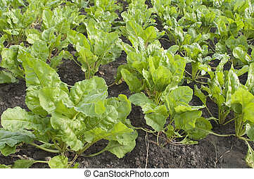 Field with sugar-beet, summer season, vegetable garden
