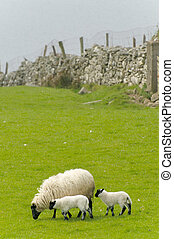 Irish sheep grazing at rural Ireland