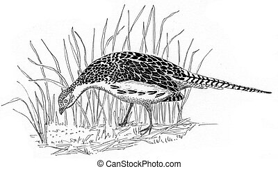 Ring-necked Pheasant female - Female Ring-necked Pheasant...