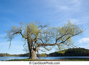 Willow tree in spring - Willow tree on bright ay in early...