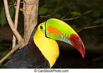 Colorful Toucan - Beautiful toucan showing off its colorful...
