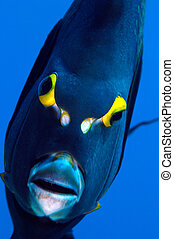 Angel fish - An angelfish stares into my camera port on a...