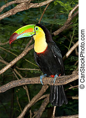 Toucan - A beautifully colored Toucan sits perched in a...