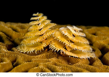 Marine worm - A small marine worm called a spiral gilled...