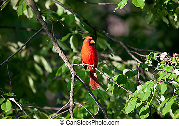 CARDINAL - RED CARDINAL ON A TREE BRANCH