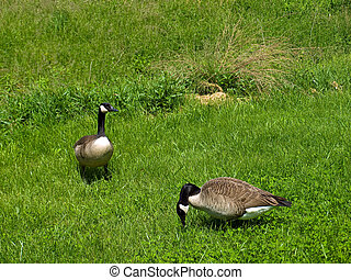Two Canadian Geese in a Grassy Field