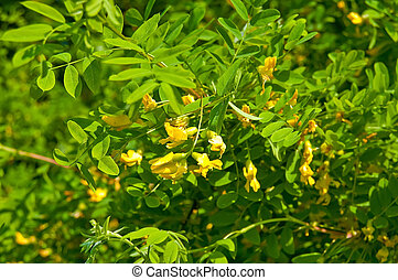 Flowering acacia - Yellow flowers of acacia on the...