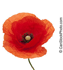 poppy - red single poppy with stem on white background