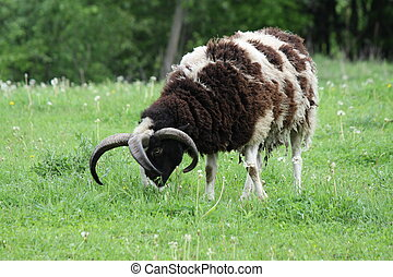 Sheep 4 Horns (Jacobs) - A Jacob Ram with 4 horns. The Jacob...