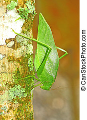 Green Katydid - Green Angular winged katydid
