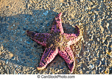 Starfish, Point St George - A pink starfish onshore at Point...