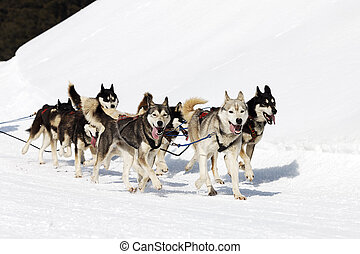 husky race on alpine mountain in winter