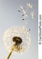 Dandelion - A Dandelion blowing seeds in the wind