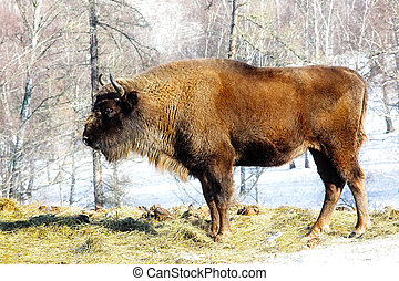 wild bison - Big wild bison in the winter forest