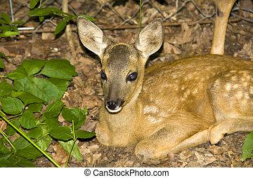 Baby roe deer Capreolus capreolus - Roe deer in a wildlife...