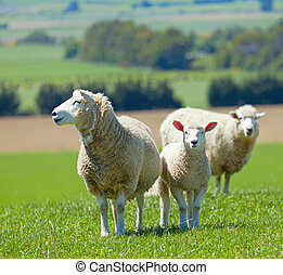 Sheep on the farm - Image of sheep grazing in the fields of...
