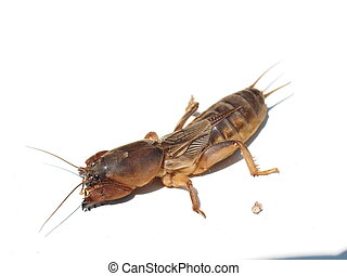 Mole cricket isolated on white background Gryllotalpidae