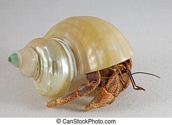 walking shell - hermit crab that is taking its shell on a...