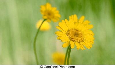 yellow daisie