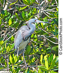 Tricolored Heron in Mangroves - Tricolored Heron (Egretta...