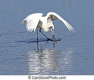 Reddish Egret fishing 4