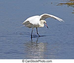 Reddish Egret fishing 2