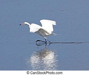 Reddish Egret fishing 1