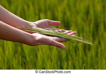 Woman hands holding unripe barley