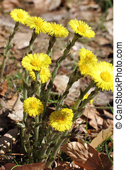 Blossoms of Coltsfoot, Tussilago farfara - The...