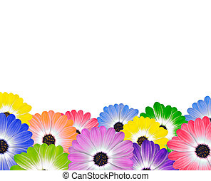 Row of Colorful Daisy Flowers on White - Row of Colorful...