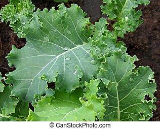sano, verde, col rizada, plantas