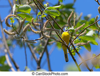 Yellow wagtail on a branch of a green tree