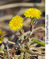 Coltsfoot stretching towards the spring sun, one open, and...