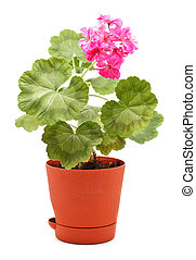 Geranium in Pot - potted plant of geranium isolated on white