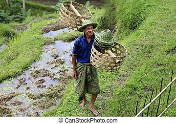 Cultivation of rice - BALI INDONESIA - 07 July 2010: Adult...