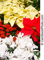 White Red and Yellow Poinsettias - Red, yellow and white...