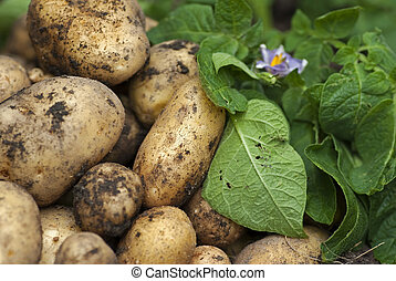 Potatoes - Harvested new potatoes with green leaves and...