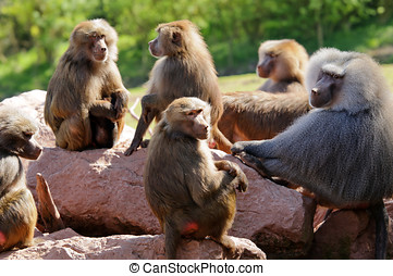 Hamadryas Baboon Troop - Close up of a troop of Hamadryas...