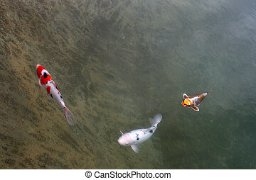 Decorative carps or koi in a pond
