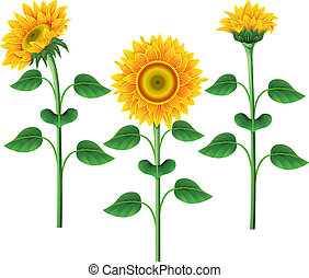 Collection of sunflowers. - Collection of yellow sunflowers...