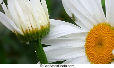 Bug between the petals of chamomile.