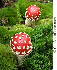 Fly amanita - Young mushrooms in green moss vertical photo