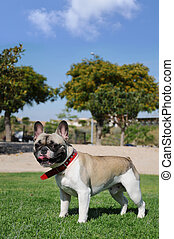 Purebred Canine Pet French Bull Dog - Purebred Tricolor...