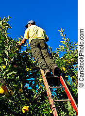 apple picking with a wooden ladder