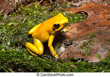poison dart frog - poison frog of amazon rain forest...