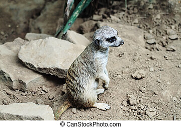 Meerkat - Young meerkat standing on hind feet